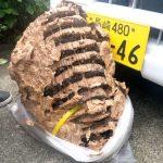 大きなスズメバチの巣