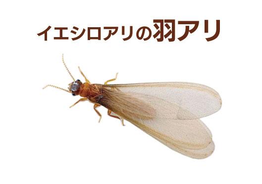 イエシロアリの羽蟻