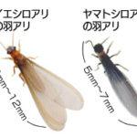 イエシロアリとヤマトシロアリの羽アリ写真