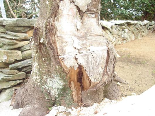 シロアリ被害にあった樹木