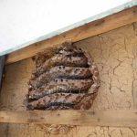 壁の中にも蜂の巣を作ります