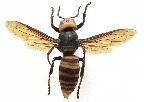 オオスズメバチ写真
