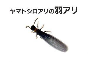 ヤマトシロアリの羽蟻