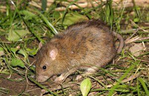ドブネズミの写真